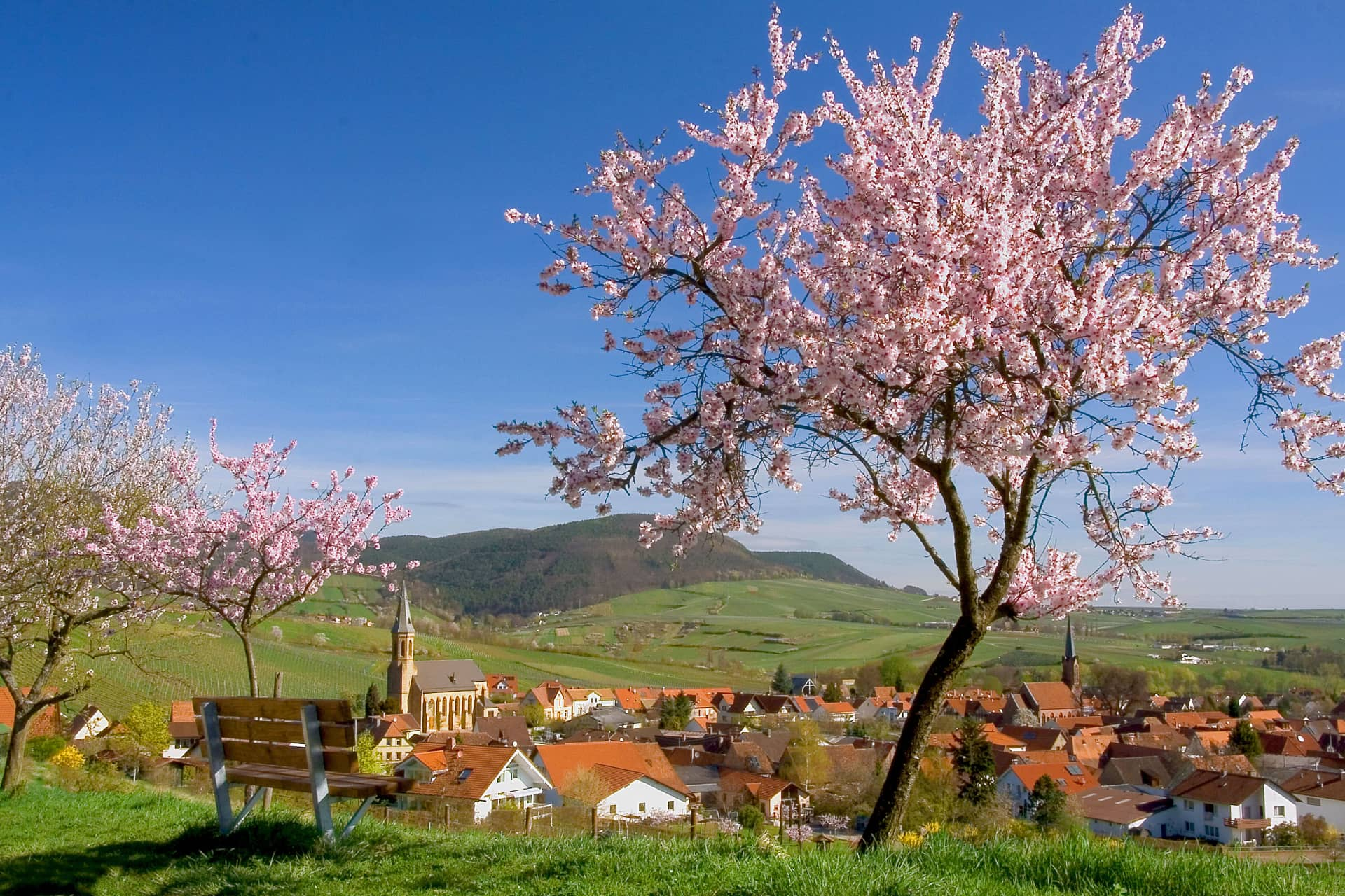 AUSZEIT Fasten - Fastenwandern, Buchingerfasten - Mandelblüten Birkweiler